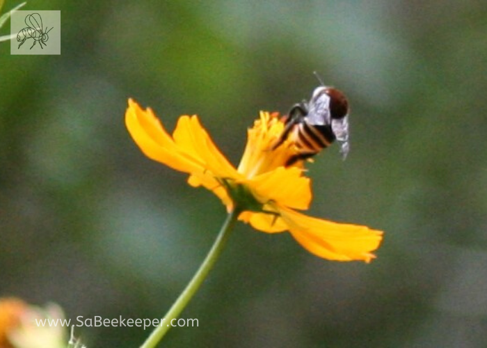 a south american native bee on some cosmos flowers.