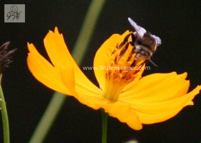 front view of the striped tailed bee foraging on cosmos flowers