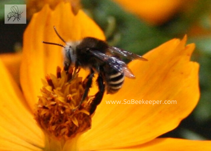 a close up of this native south american bee foraging on some cosmos flowers