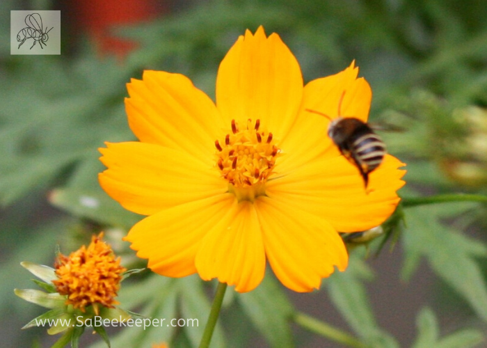 bee landing on yellow cosmos flwoers. think its a south american native bee or mason bee?