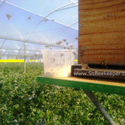 Honey Bees Pollinate Blueberries