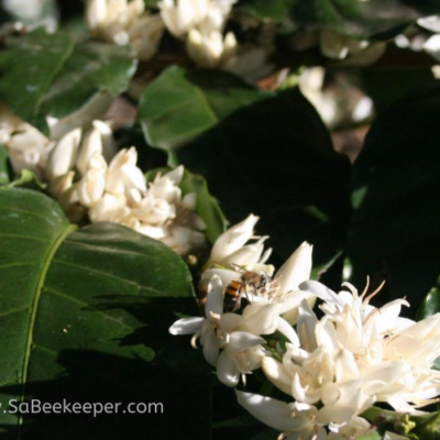 Bees Pollinate Aromatic Coffee Flowers