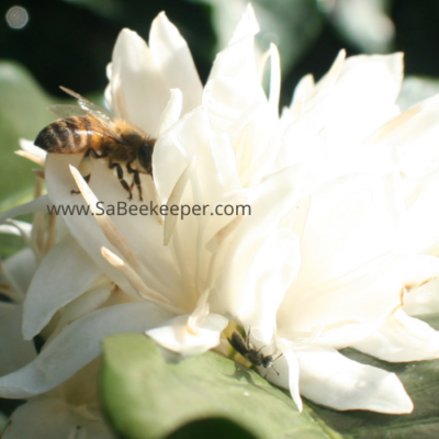 Coffee Flowers Give Bees a Buzz