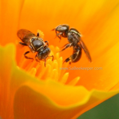 Sweat Bees Foraging Poppy Flowers