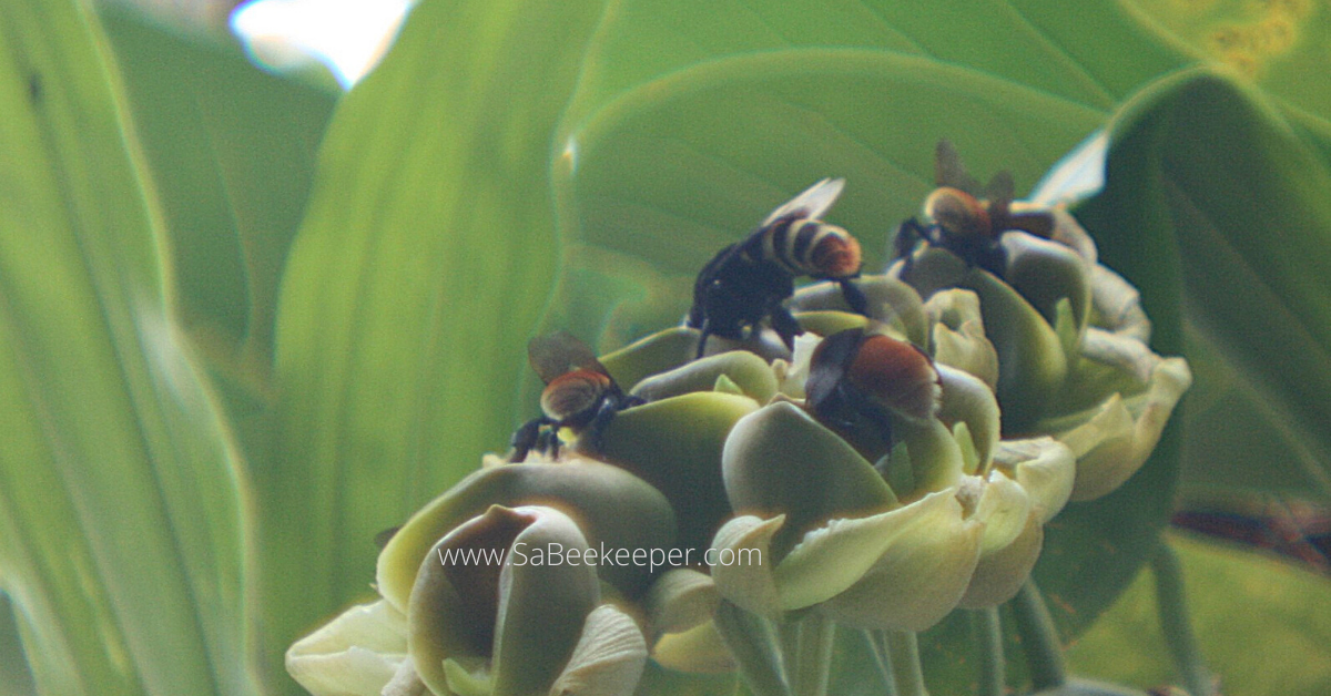 large monk orchid flowers with bumblebees and carpenter bees foraging