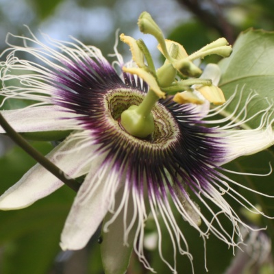 Passion fruit Flower Components Symbolize