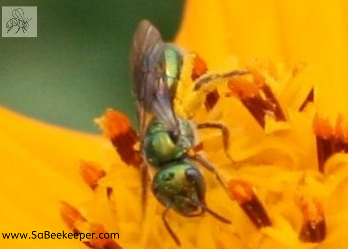 a green sweat bee full of pollen