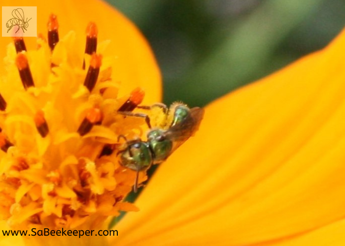 a green sweat bee foraging on yellow cosmos full of pollen underneath its body