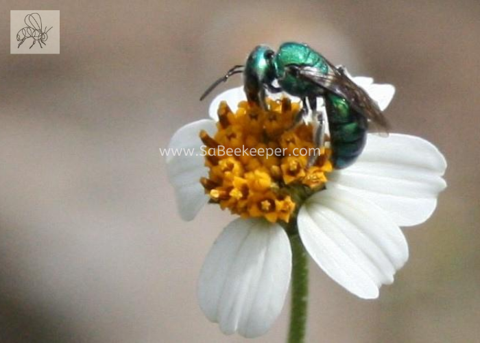 a metallic green sweat bee on a white black jack flower foraging