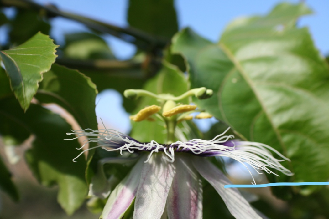 the petals of the passion fruit flower
