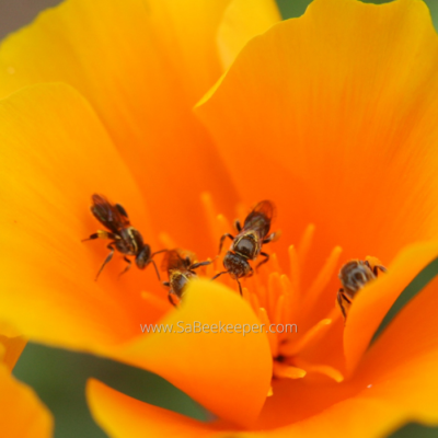 How To live with Sweat Bees