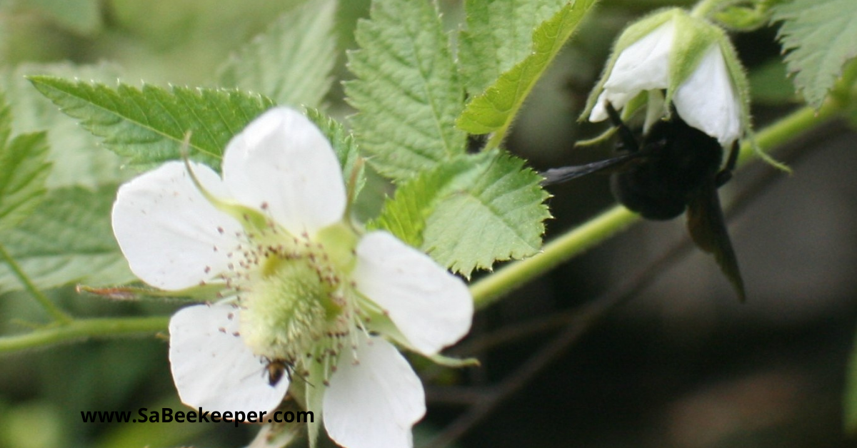 Busy pollinating black bumblebee on raspberry flowers.