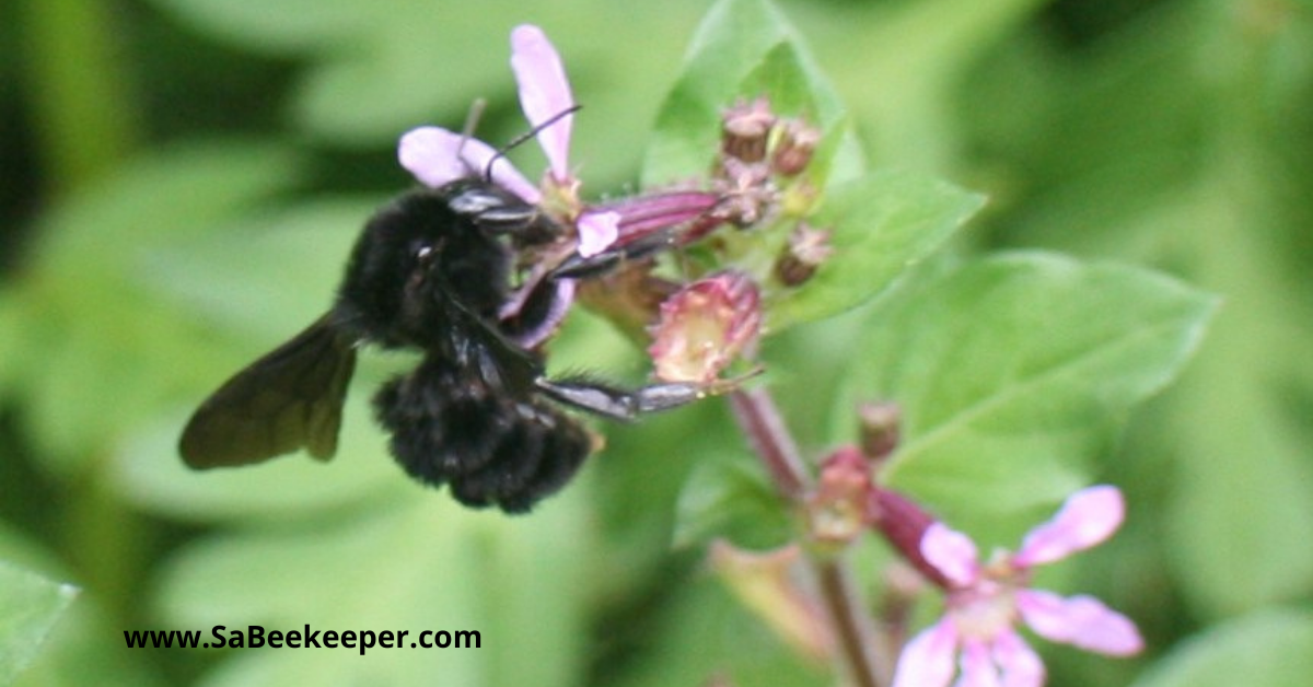 A small black bumblebee on some wild flowers