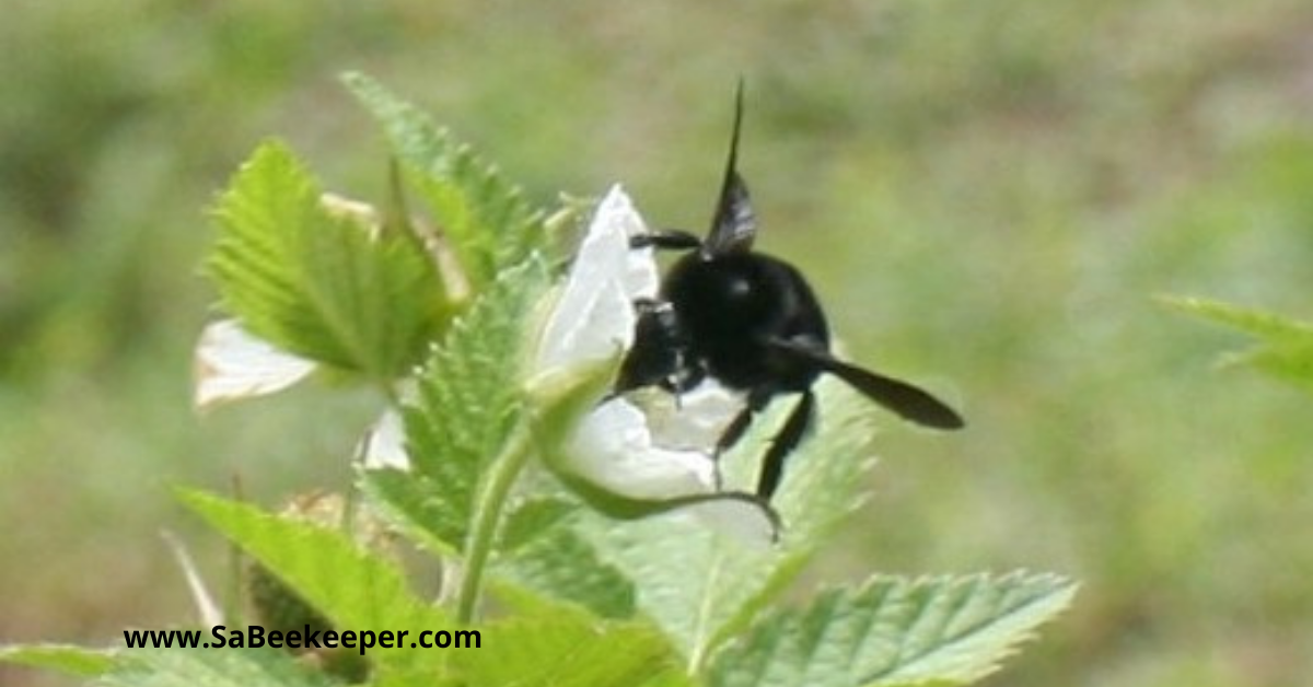 raspberry flowers and a busy pollinating black bumblebee