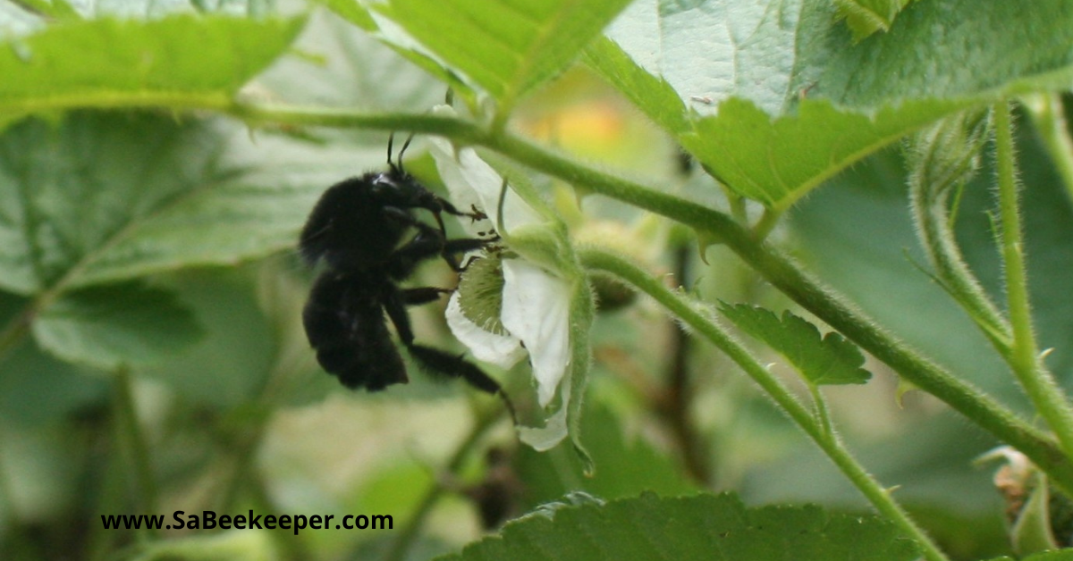 a busy pollinating black bumblebee