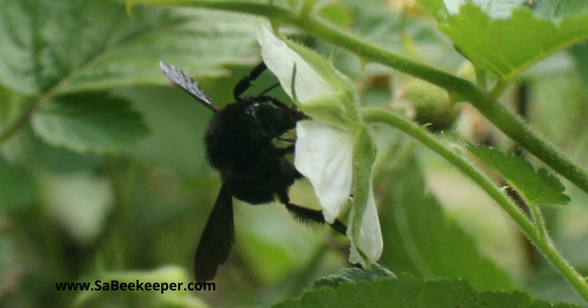 a black bumblebee on flowers