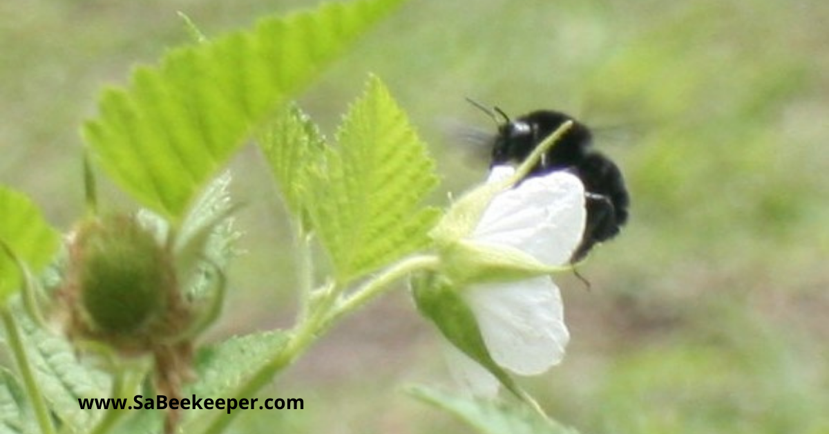 a busy pollinating black bumblebee on raspberry flowers