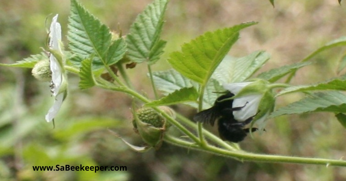 raspberry flowers and a pollinating black bumblebee