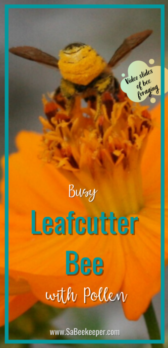 a pinterest image of this busy leafcutter bee with pollen on a cosmos flower. view the video slide