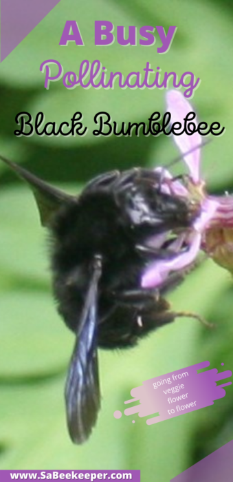 a pinterest photo of a busy pollinating black bumblebee