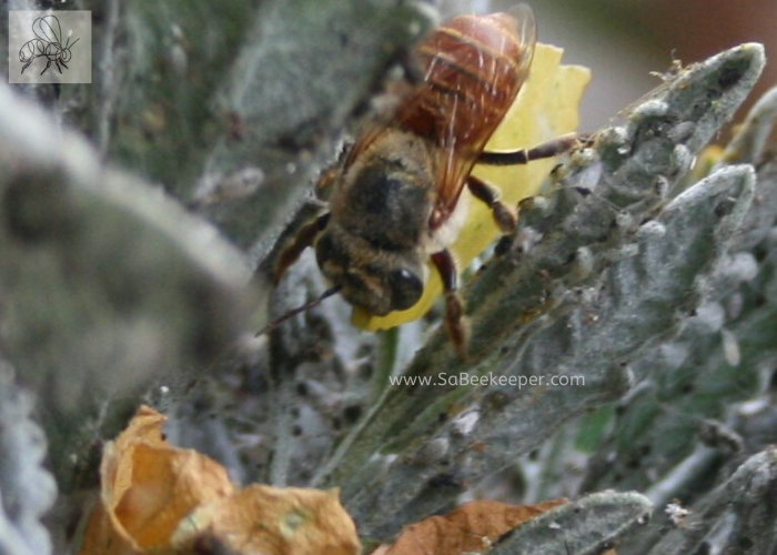 A red leafcutter bee carying a petal to her nest.
