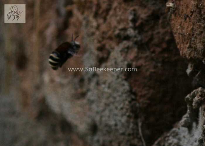 Another bumble bee or solitary bee nesting in holes in an old mud brick wall.