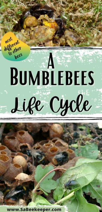 pinterest photo a bumblebees lifecycle