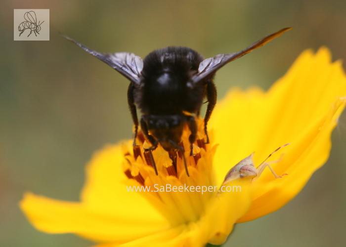 a black bumblebee foraging on a cosmos flower