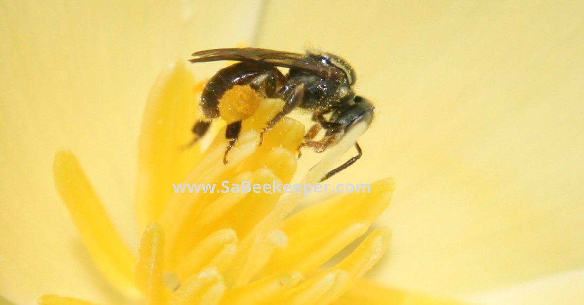 a dark sweat bee with pollen on poppy flowers