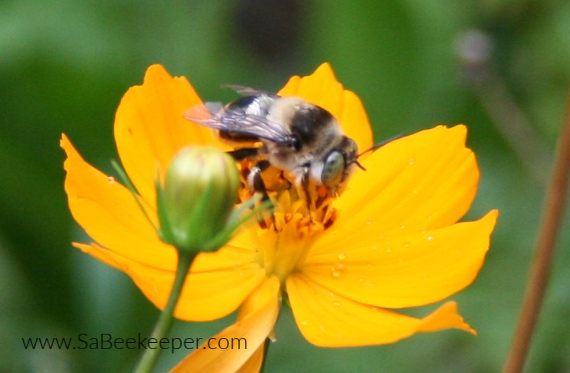 a bumblebee on a yellow cosmos flower