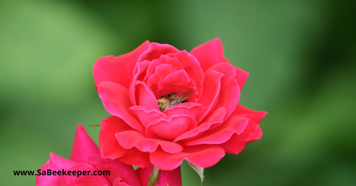 a bumblebee sleeping in a rose flower
