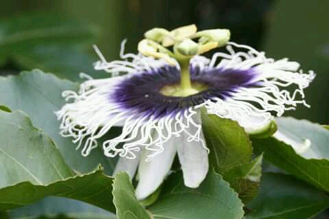 a passion fruit flower showing her pollen