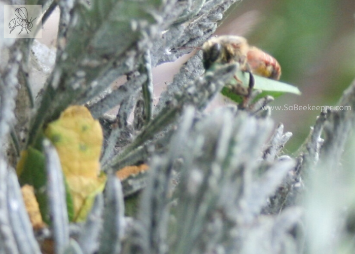 a red leafcutter bee carrying a piece of leaf to her nest she is building in some old lavender plant