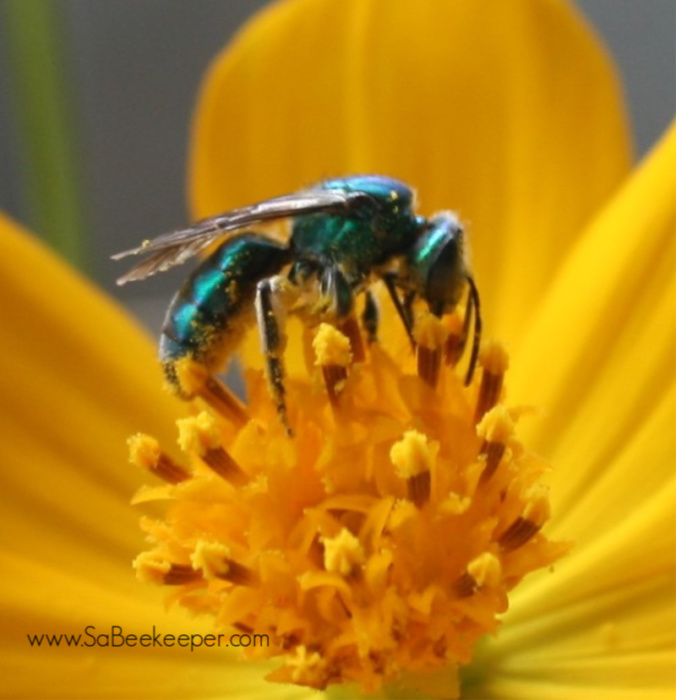 a blue mason bee on yellow cosmos flowers full of pollen