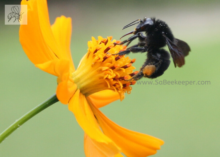 a small black bumble bee that has pollen in the leg baskets on some yellow cosmos flowers