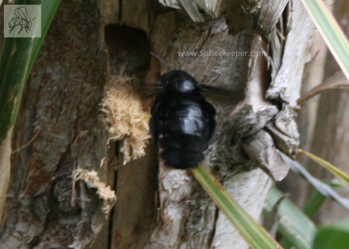 a black carpenter bee nest building in a soft wood tree.