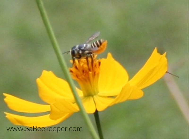 a dark leafcutter bee foraging on a yellow cosmos flower. always having their tail up.