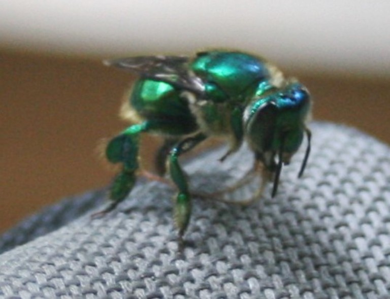 a metallic green orchard bee collecting fragrances from a chair arm rest.