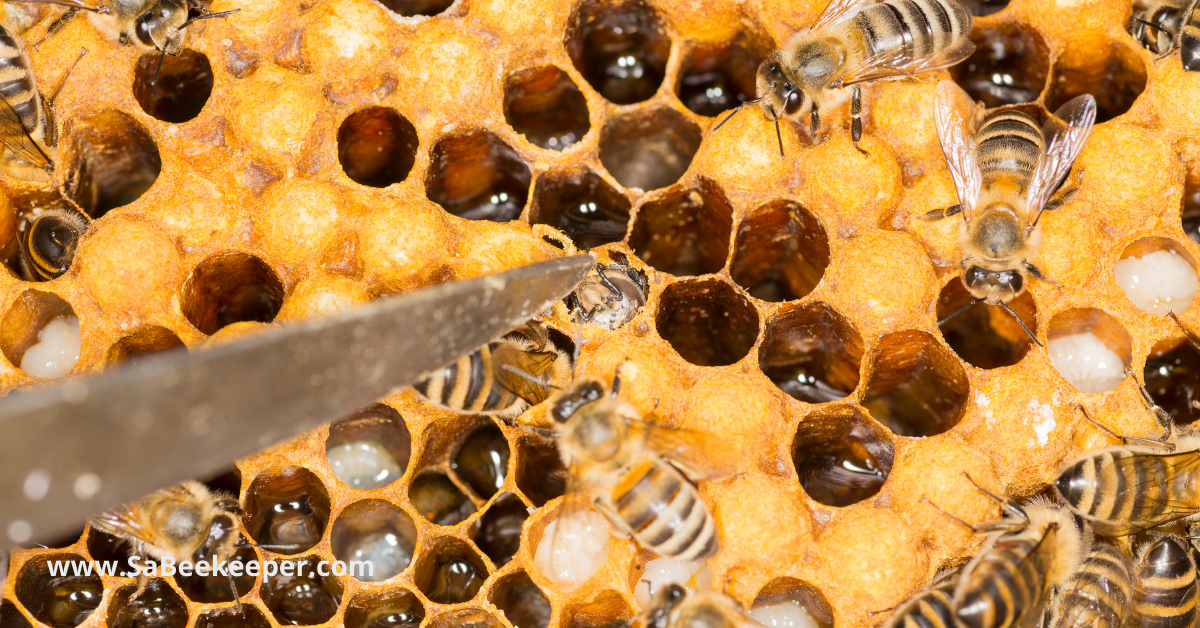 eggs on a honey bees comb the pointing one is describing the fertilization
