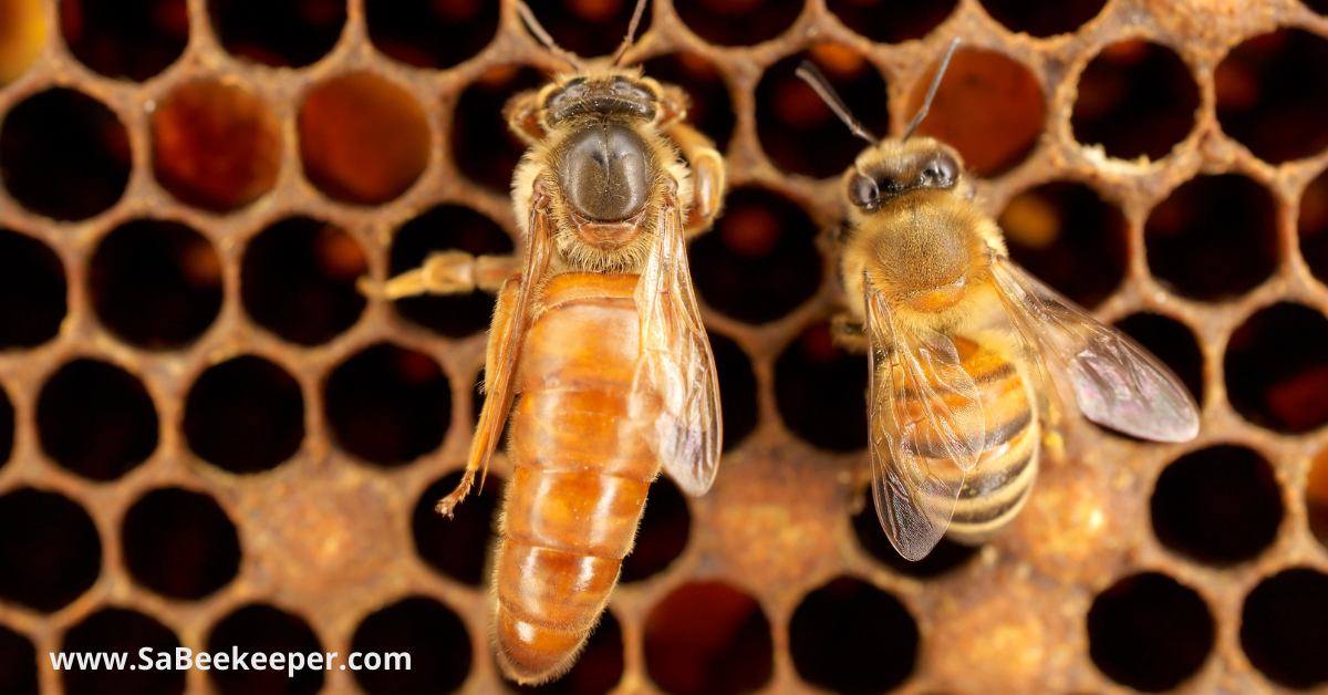 a queen honey bee and a worker honey bee on a comb