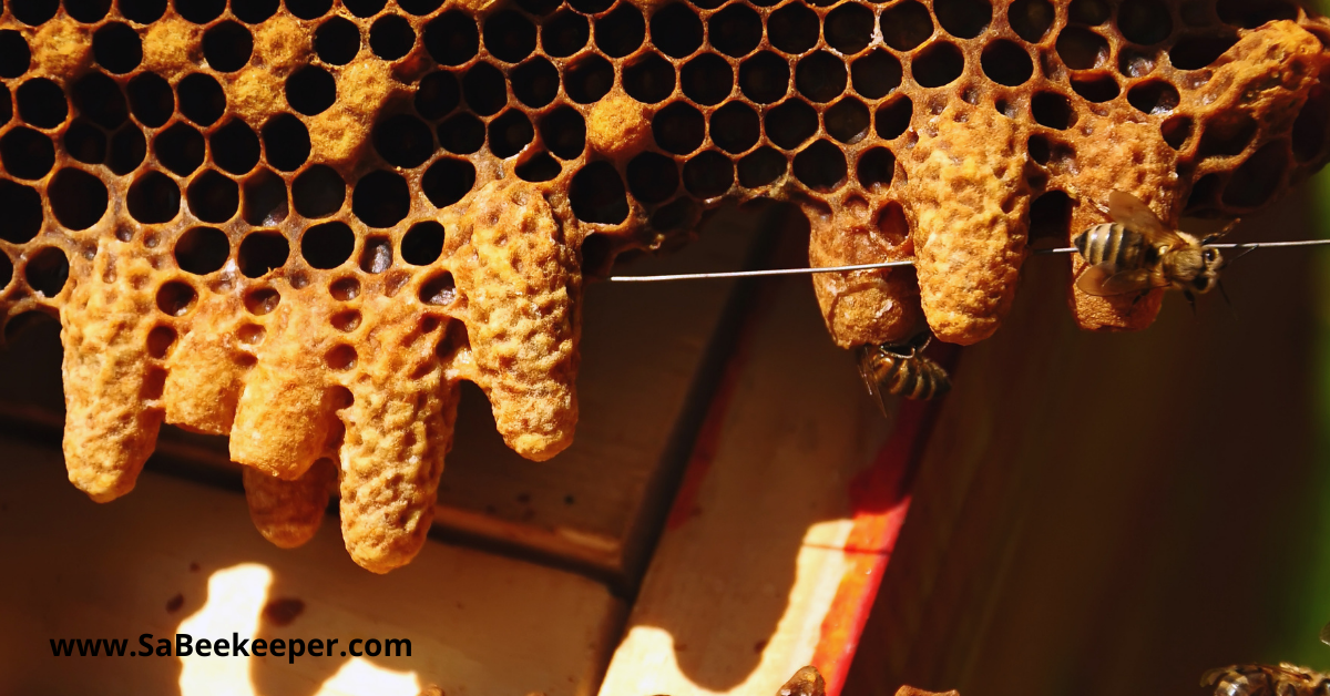 honey queen cells on a honey bee hive comb