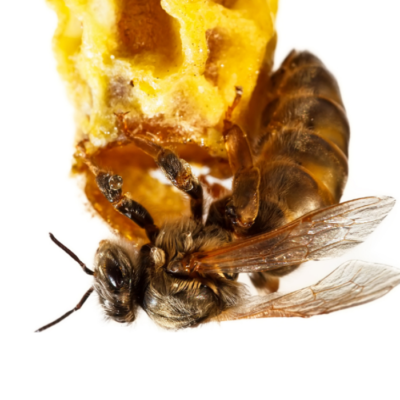 Queen Bees life cycle and Royal Jelly