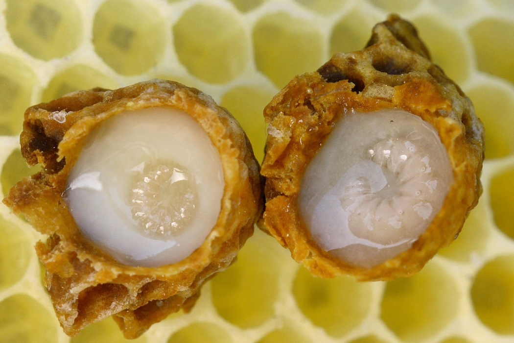 the queen bee cells with a larvae filled with royal jelly.