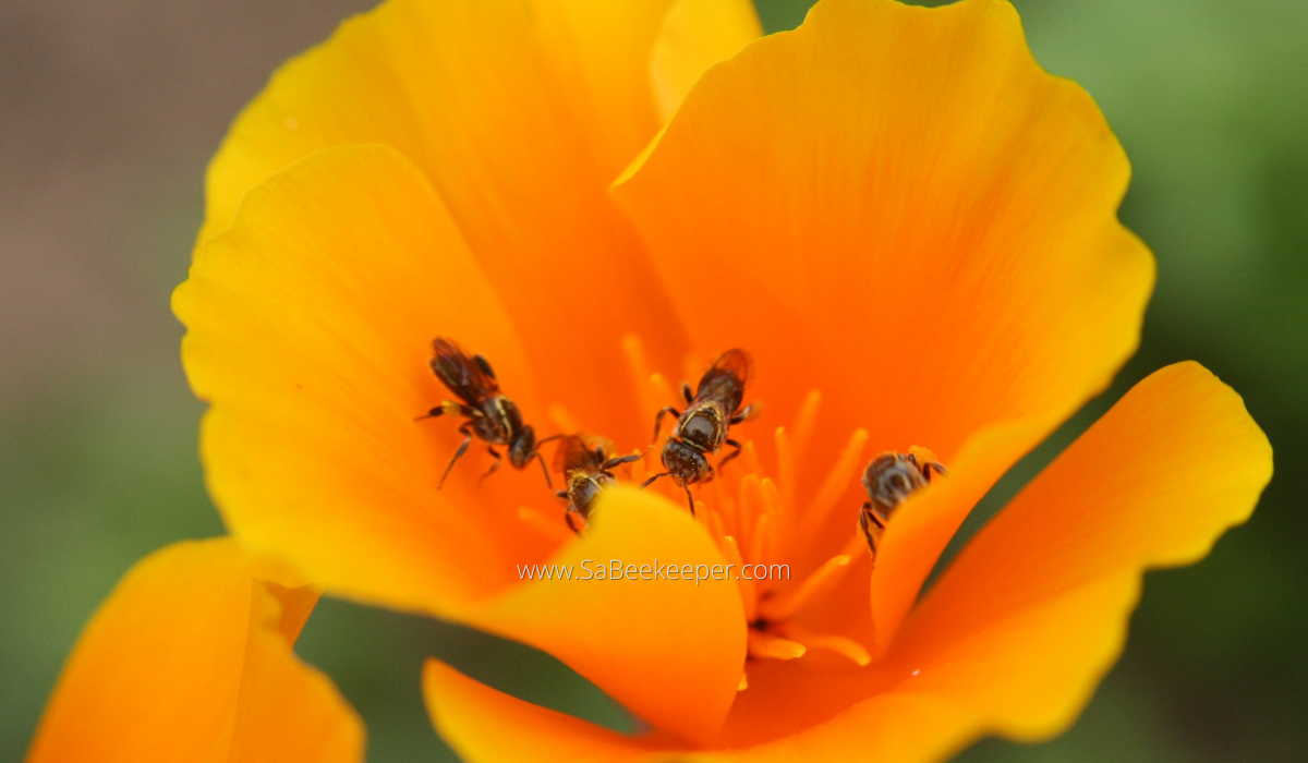 a few dark sweat bees on orange poppy flowers.
