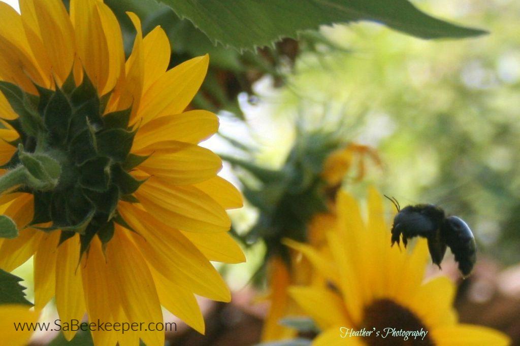 a carpenter bee landing on sunflowers