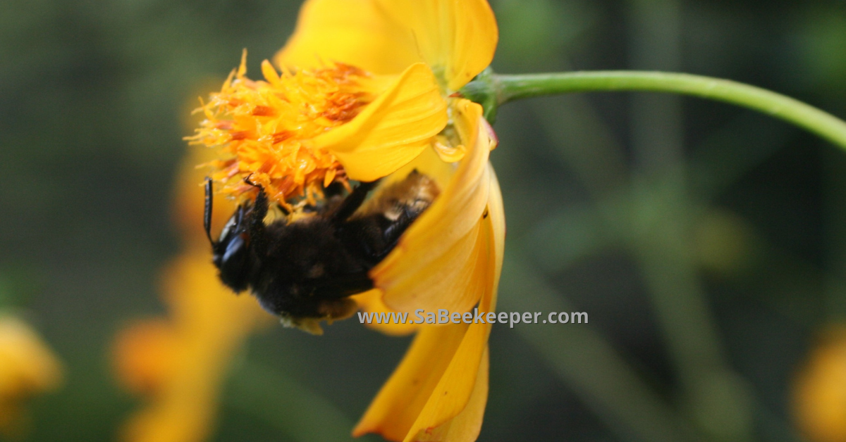 buff tailed bumblebee on a flower in the evening and her large black eyes