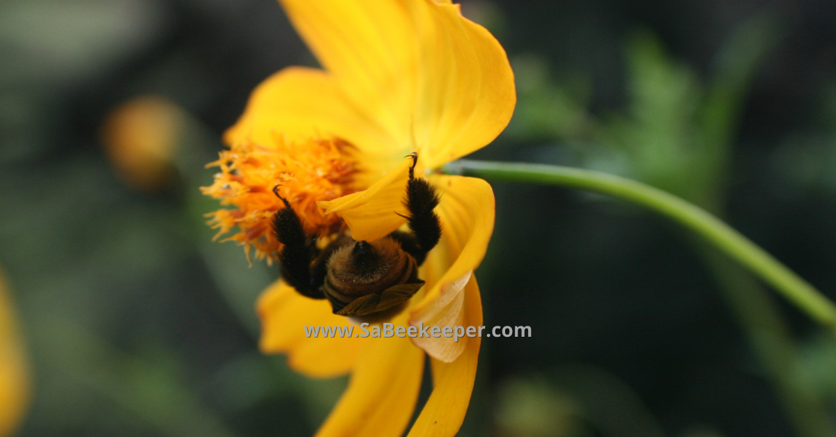 a buff yellow tailed bumblebee hanging on the cosmos flower napping