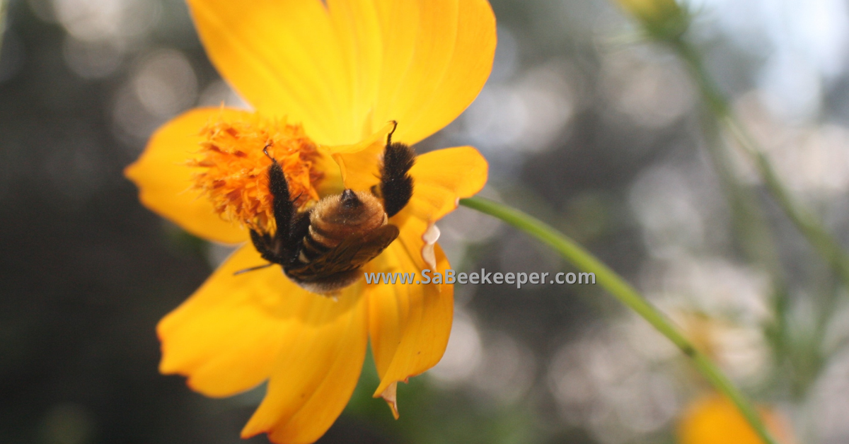 Yellow buff tailed and some stripes of the bumblebee on a flower