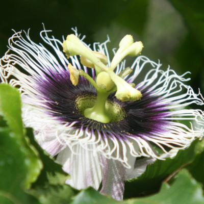 Pollination of Passion Fruit Flowers