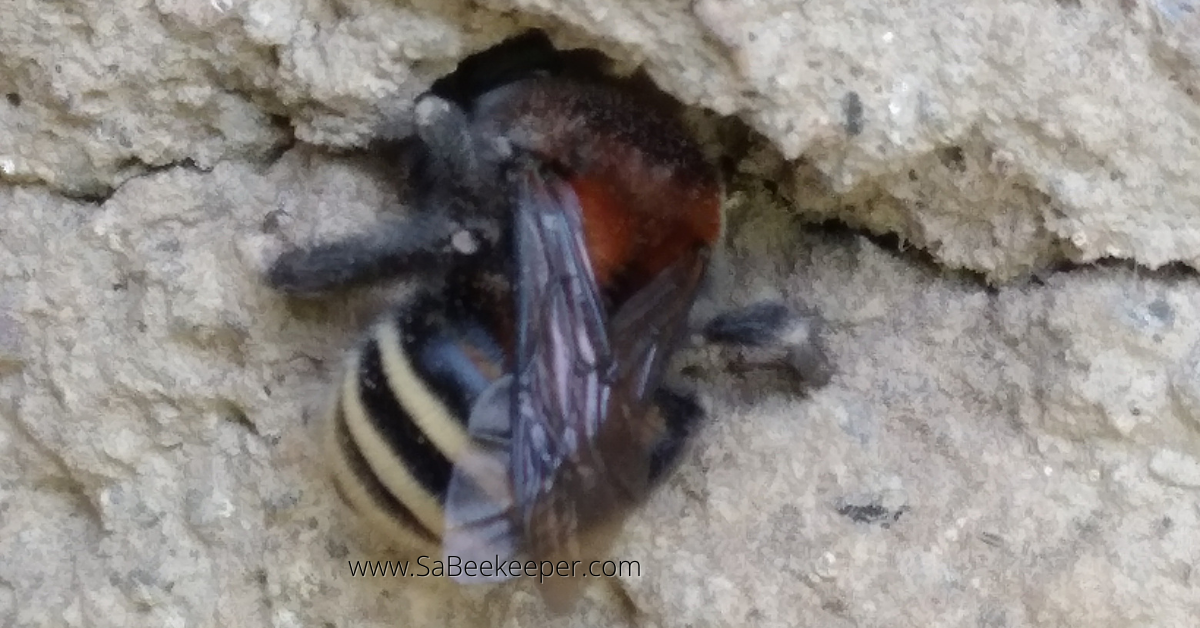 a bumblebee from south america digging a hole in a wall for a nest